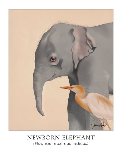 Newborn Indian Elephant Poster